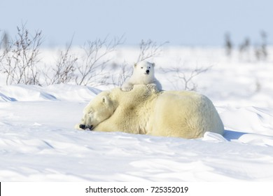 Polar bear mother (Ursus maritimus) ying down on tundra, with new born playing, Wapusk National Park, Manitoba, Canada