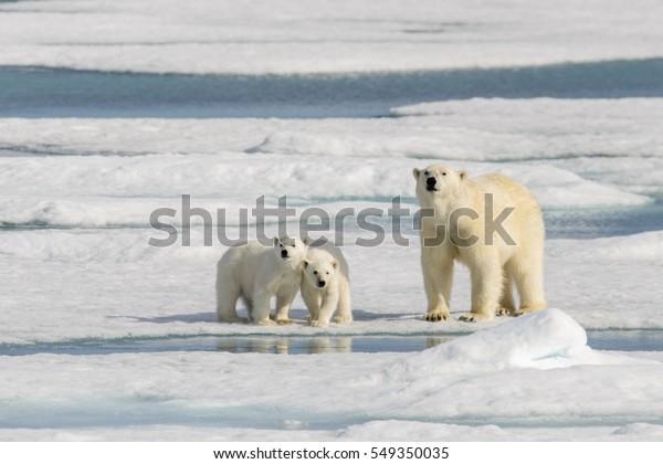 Мать полярного медведя (Ursus maritimus) и близнецы на льду, к северу от Шпицбергена Арктика Норвегия