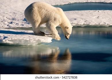 Polar Bear narcissist