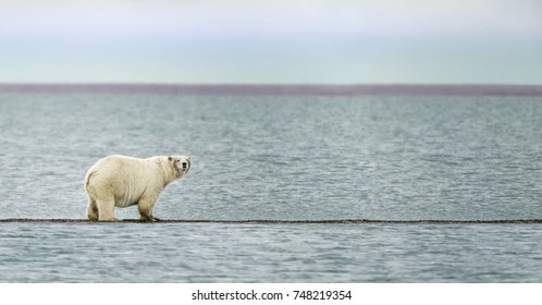 Polar Bear near the village of Kaktovik in the Beaufort Sea off the north coast of Alaska.  Polar Bears gather here in large numbers every fall.
