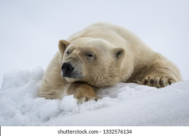 A Polar Bear on its bed of snow raises its head to look at the photographer, Svalbard.