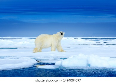 Polar bear on the blue ice. Bear on drifting ice with snow, white animals in nature habitat, Manitoba, Canada. Animals playing in snow, Arctic wildlife. Funny image in nature.