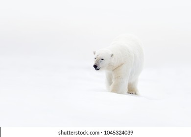 Polar bear on drift ice with snow, clear white photo, big animal in the nature habitat, Canada, wild America. Wildlife scene form nature. Animal behaviour in forest. Big bear walking in the ice.