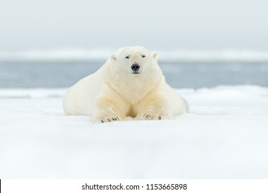 Polar bear on drift ice edge with snow and water in Svalbard sea. White big animal in the nature habitat, Europe. Wildlife scene from nature. Dangerous bear lying on the ice, Arctic Norway.