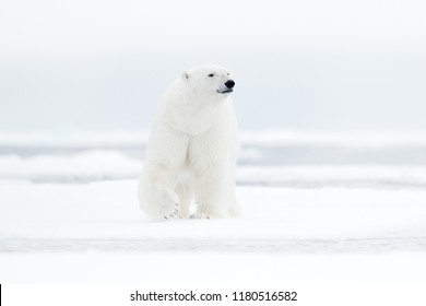 Polar bear on drift ice edge with snow and water in sea. White animal in the nature habitat, north Europe, Russia. Wildlife scene from nature. Dangerous bear walking on the ice, beautiful evening sky.