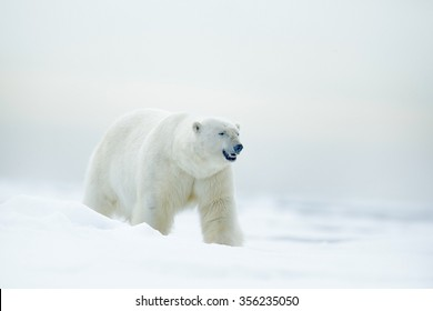 Polar bear on drifting ice with snow, blurred nice yellow and blue sky in background, white animal in the nature habitat, Russia.