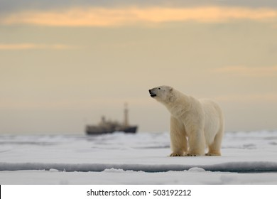 Polar bear on the drifting ice with snow, blurred cruise ship in background, Svalbard, Norway.