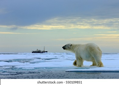 Polar bear on the drifting ice with snow, blurred cruise vessel in background, Svalbard, Norway. Wildlife scene in the nature. Cold winter in the Arctic.