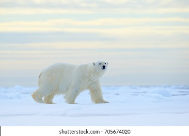 Polar bear on drifting ice edge with snow and water in Arctic Svalbard. White animal in the nature habitat, Norway. Wildlife scene from Norwegian nature.