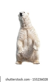 Polar bear on his hind legs isolated on a white