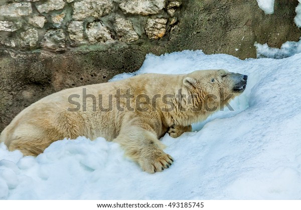 Polar bear on a hot day sitting on the snow.
