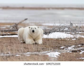 Polar Bear on Hudson Bay Canada