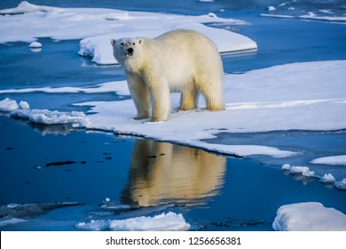 Polar bear on an ice floe looks into its reflection in the water, Svalbard, Arctic