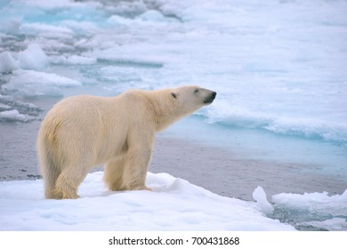 polar bear on ice floe in norwegian arctic waters, searching for scents of seals