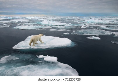 polar bear on ice floe in norwegian arctic waters, searching for scents of seals, wide angle view
