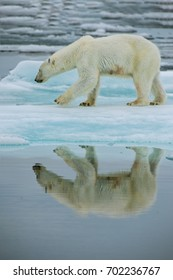 polar bear on ice floe in norwegian arctic waters, with nice reflection