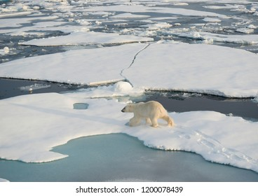 Polar bear on the ice floes, Arctic Ocean, north of Svalbard.