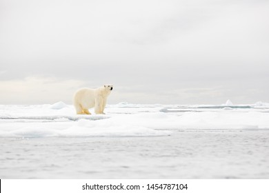 Polar bear on the ice with snow, white animals in nature habitat, Svalbard, Norway. Animals playing in snow, Arctic wildlife. Funny image in nature.
