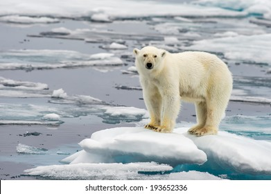 polar bear on melting ice floe in arctic sea