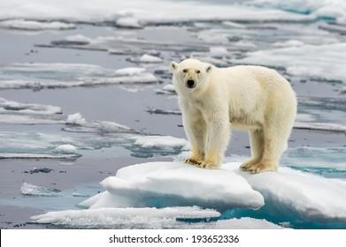 polar bear on melting ice floe in arctic sea - Shutterstock ID 193652336