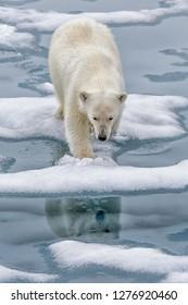 Polar bear on melting sea ice