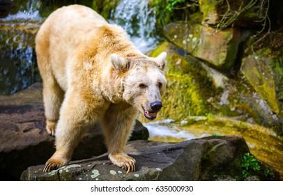 Polar bear on rocks