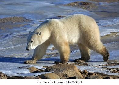 A polar bear on the shore of the Hudson Bay