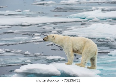 polar bear on small ice floe in norwegian arctic waters, searching for scents of seals