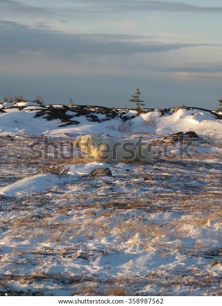 Polar bear on sunset tundra: Churchill, Manitoba, soft focus