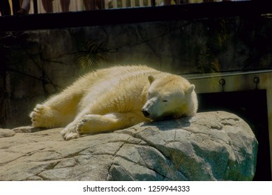 polar bear, one of the exhibits at seaworld on the gold coast