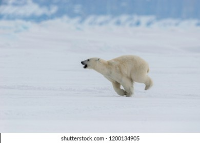 Polar bear patrolling the ice floes at the northern end of Baffin Island.