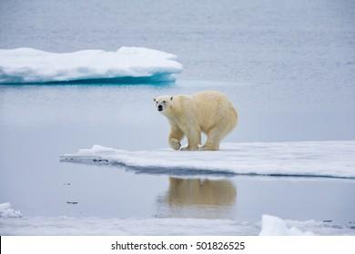 Polar bear pauses on ice floe admiring reflection