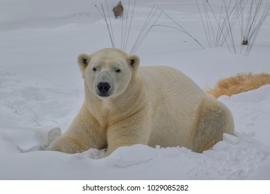Polar Bear playing in the snow