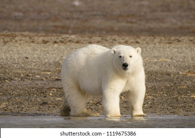 Polar bear portrait standing on land in the Arctic staring (Ursus maritimus), Nunavut, Canada