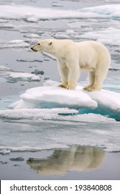 polar bear poses on melting ice floe in arctic sea, with reflection in water