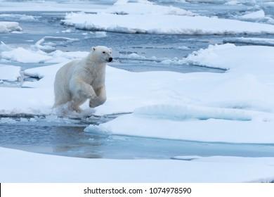 Polar Bear preparing to leap a gap in the ice