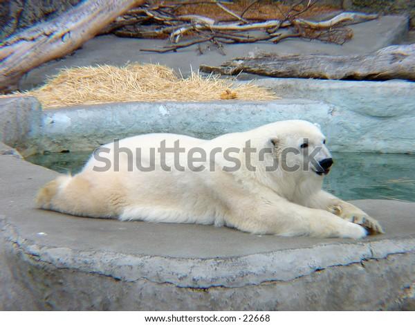 Polar bear resting at the San Francisco zoo.