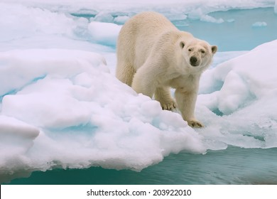 polar bear roams on melting ice floe in arctic sea above svalbard norway