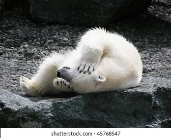 Polar bear rolling on its back holding its head with teeth showing