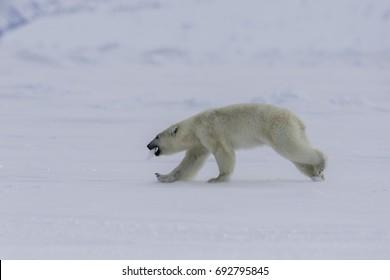 Polar bear running along the ice floe, Lancaster Sound, Baffin Island, Canada.