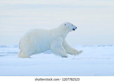 Polar bear running on drift ice edge with snow and water in Norway sea. White animal in the nature habitat, Europe. Wildlife scene from nature. Dangerous bear walking on the ice.
