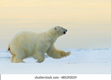 Polar bear running on the ice with water in Arctic Russia. Polar bear in the nature habitat with snow. Big animal with snow.