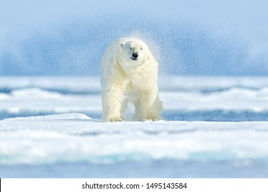 Polar bear shake off water drops, drifting ice with snow, white animals in nature habitat, Svalbard, Norway. Animals playing in snow, splash water. Arctic wildlife. Funny image in nature.