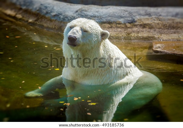 Polar bear sitting in the water on a hot day in the sun.