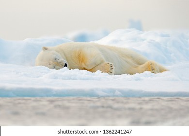Polar bear sleeping on drift ice edge with snow and water in Norway sea. White animal in the nature habitat, Svalbard, Europe. Wildlife scene from nature. Dead polar bear in the habitat.