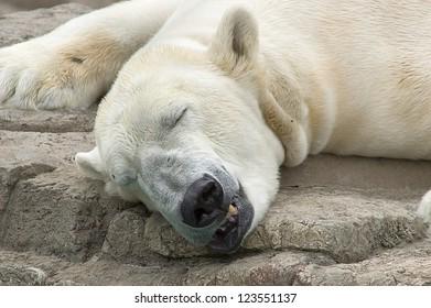 Polar Bear sleeping on rock