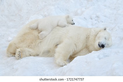A polar bear sleeps in the snow with a small bear cub. - Shutterstock ID 1721747737