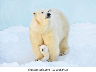 A polar bear with a small bear cub in the snow. - Shutterstock ID 1719268408