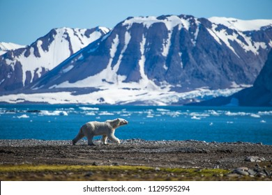 Polar bear in south Spitsbergen