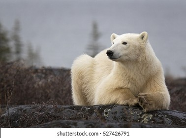 Polar bear sow, close up, lying on a boulder.  Autumn in Churchill, Manitoba, Canada